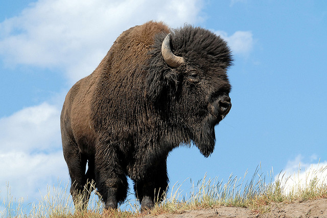Yellowstone bison controversy leads to ongoing protests