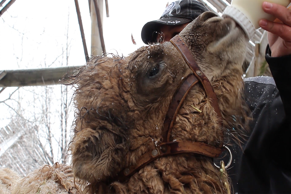 Idaho Falls Zoo Receives Newborn Camel