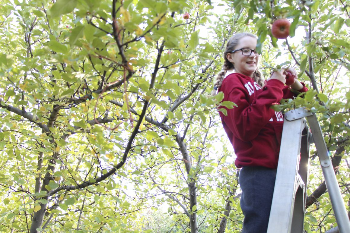 A girl picks an apple at the apple orchard. Jaiden Widmier, (not a student). (James Richards, Scroll Photography)