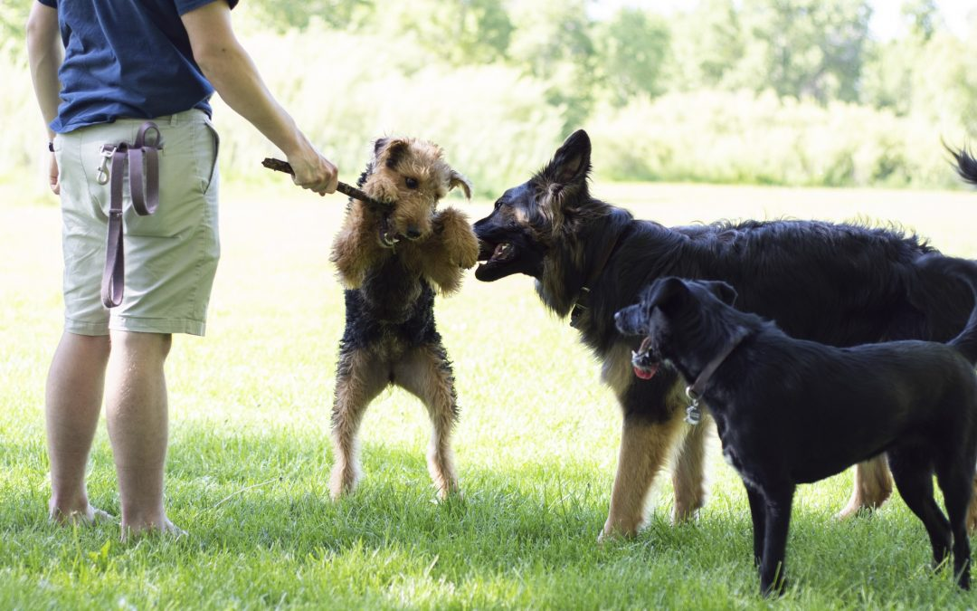 Dogs Play Together At Weekly Meetups