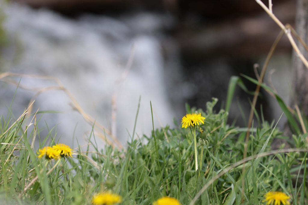 Yellow flowers shoot from the grass near a waterfall on Henry's Fork. This was shot at Keefer park in St. Anthony.