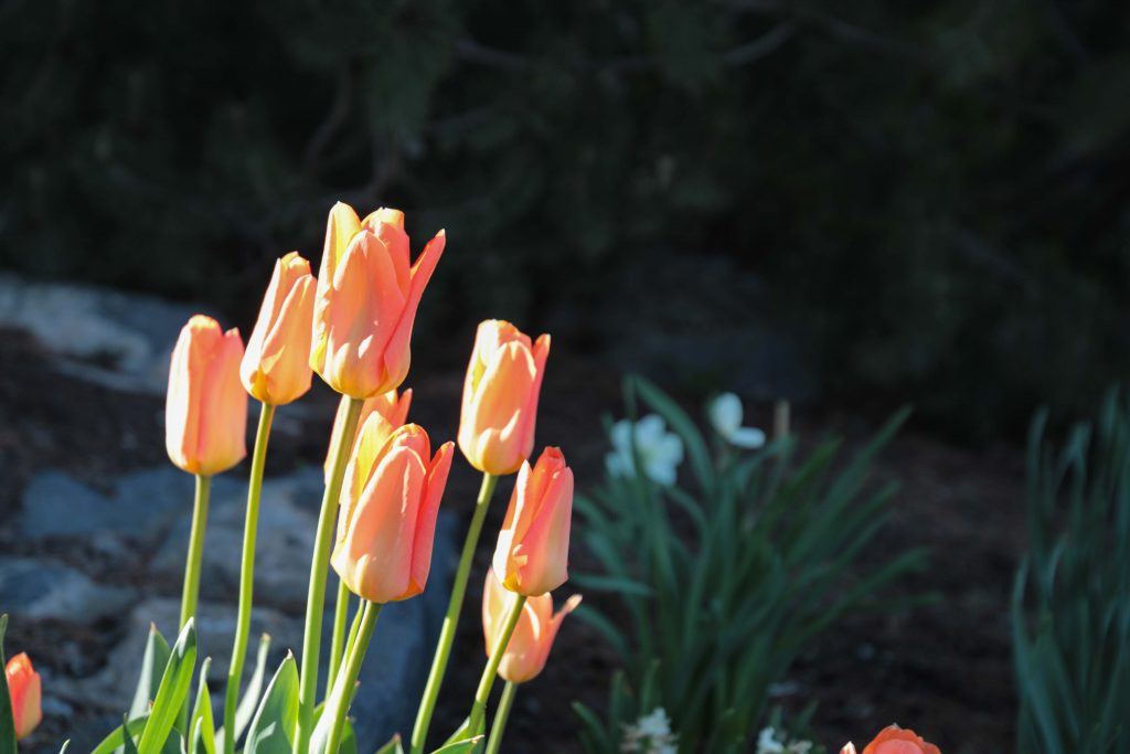 Orange flowers in front of the Ezra Taft Benson Building shine with a ray of the sun.