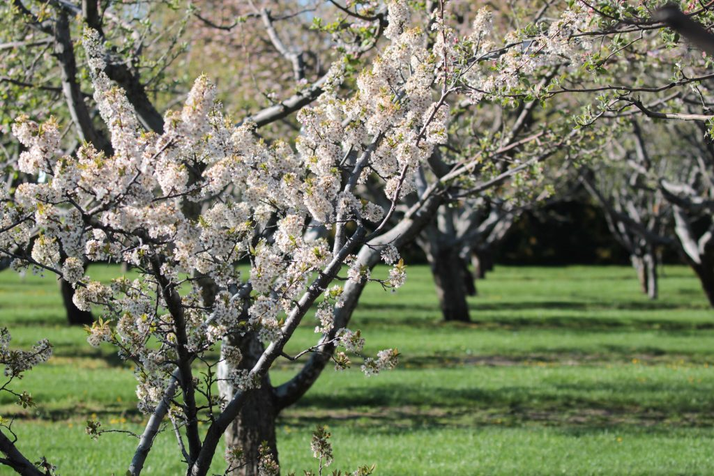 The Apple Orchards on the south side of campus regain their leaves and flowers with the warming weather.