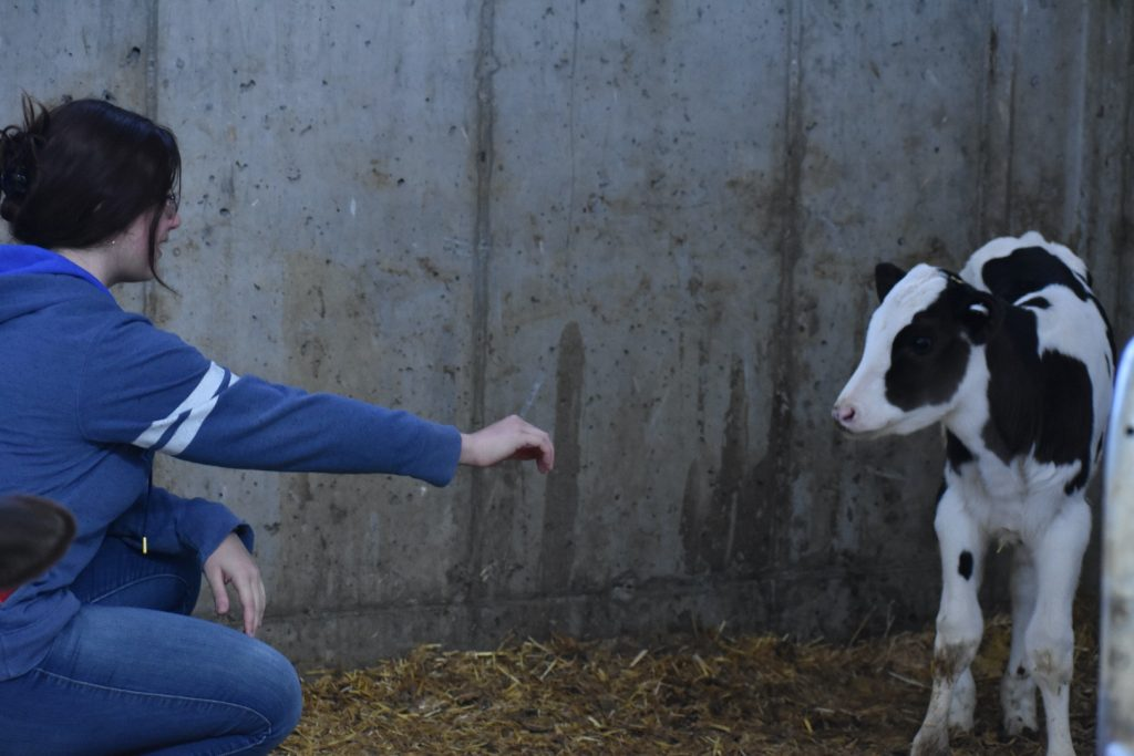 Student carefully approaching a calf