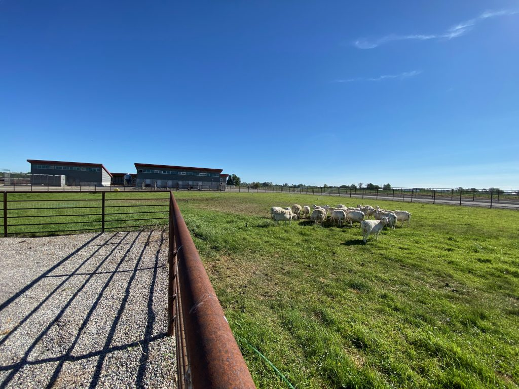 Grazing area for sheep with other buildings in the background