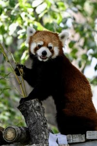 Red panda turns towards the crowd that watches it.