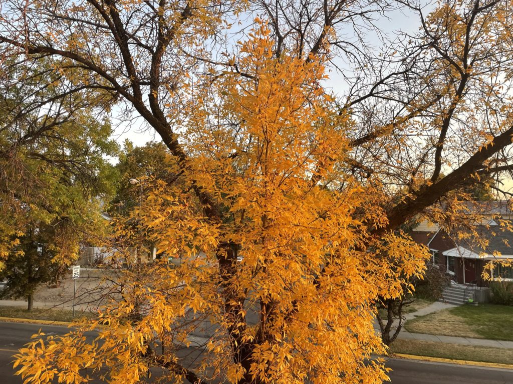 A tree seen from the second floor of Windsor Manor apartments. It is missing half its leaves, but the ones left are bright yellow/orange.
